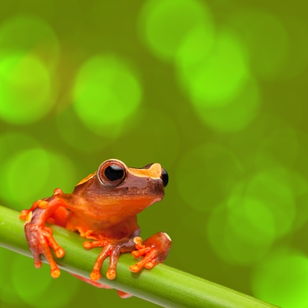 tropical frog: red tree frog climbing in tropical Amazon rain forest. Small amphibian with big eyes, Dendropsophus leucophyllatus from exotic jungle of Peru, Brazil, Bolivia, Colombia and Ecuador. Beautiful macro of small cute rainforest animal