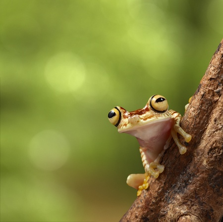 amazon rain forest: tree frog on branch in tropical jungle of Peruvian Amazon rain forest. Hypsiboas picturata on background with copy space. Treefrog with big eyes. Stock Photo