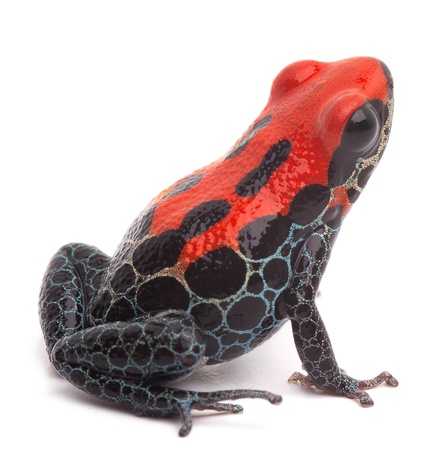 terrarium: red frog isolated, poison dart frog ranitomeya reticulata from the Amazon rain forest of Peru. Kept as an exotic pet animal in a jungle terrarium. Small cute tropical amphibian macro Stock Photo