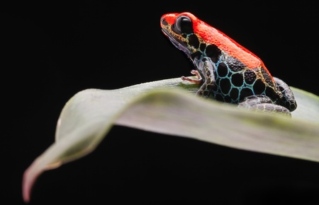 red tropical frog from amazon rain forest in Peru. Ranitomeya reticulata od reticulated poison dart frog. Cute small exotic amphibian. Stock Photo - 19561467