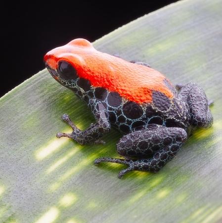 rana venenosa: rojo reticulado ranas venenosas. Una peque�a joya de la selva, de 15 mm de la belleza pura con colores vibrantes rojos y azules patas reticuladas. Esta rana venenosa vive en la selva tropical de Per� y con frecuencia se mantiene como mascotas ex�ticas en un bosque tropical lluvioso del te