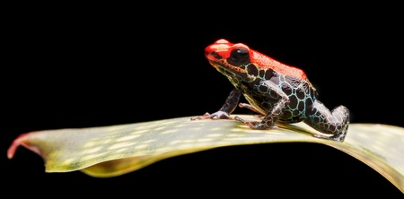 reticulated poison dart frog, bright red rainforest animal living in the jungle of Peru. This small amazon rain forest amphibian is poisonous and warns with its bright red colours. Ranitomeya reticulata photo