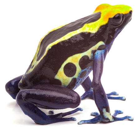 poison arrow frog form Amazon rain forest isolated on white. Dendrobates tinctorius, cobalt beautiful macro of bright yellow and blue tropical animal. Kept as exotic pet in a rainforest terrarium.  photo