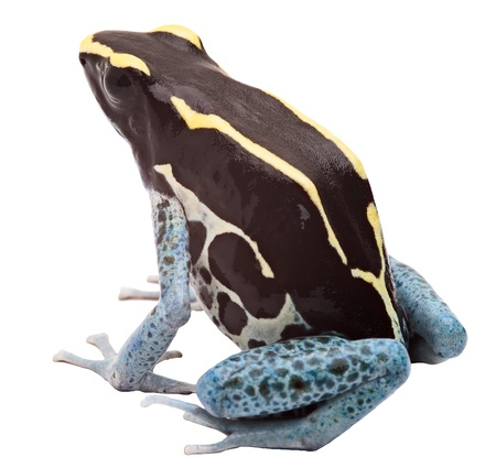 exotic pet: Poison arrow frog isolated on white, Dendrobates tinctorius, Patricia Tropical amphibian from Amazon jungle kept as an exotic pet animal Stock Photo