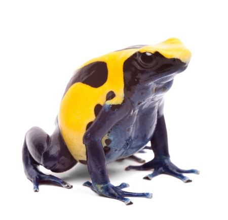 poison dart frog: yellow blue poison dart frog from Amazon rain forest in Suriname, Dendrobates tinctorius often kept as pet animal in a tropical rainforest terrarium. Beauticul vibrant amphibian isolated on white