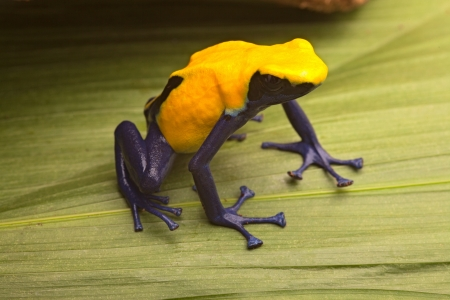 Yellow poison dart frog, Dendrobates tinctorius Citronella. Beautiful small amphibian from tropical rain forest in Suriname. These animals live in the Amazon jungle and are often kept in a jungle terrarium. photo