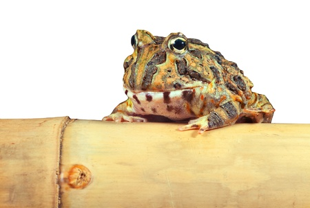 pacman: Pacman frog or toad isolated, South American horned frogs Ceratophrys ornata (Argentine horned frog) Tropical rain forest animal living in the Amazon rainforest of Brazil Argentina and paraguay kept as exotic pet animal