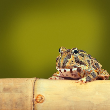 pacman: Pacman frog or toad, South American horned frogs Ceratophrys ornata Tropical rain forest animal living in the Amazon rainforest of Brazil Argentina  paraguay, exotic pet animal green background copyspace