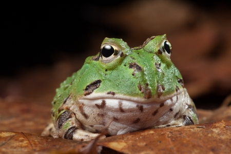 South American horned frogs Ceratophrys ornata (Argentine horned frog) Tropical rain forest animal living in the Amazon rainforest of Brazil Argentina and paraguay kept as exotic pet animal