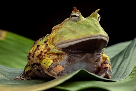 pacman: Pacman frog or toad, South American horned frogs Ceratophrys cornuta Tropical rain forest animal living in the Amazon rainforest of Brazil Suriname kept as exotic pet animal Stock Photo