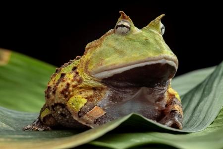 sapo: Pacman rana o un sapo, South cuernos ranas Ceratophrys cornuta tropical rain forest animales que vive en la selva amaz�nica de Brasil, Suriname mantienen tan ex�tico animal de compa��a