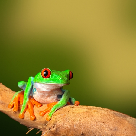 red eyed tree frog: red eyed treefrog, from Costa Rica tropical rainforest. This vibrant tree frog is often kept as an exotic amphibian pet animal in a rain forest terrarium background with copy space