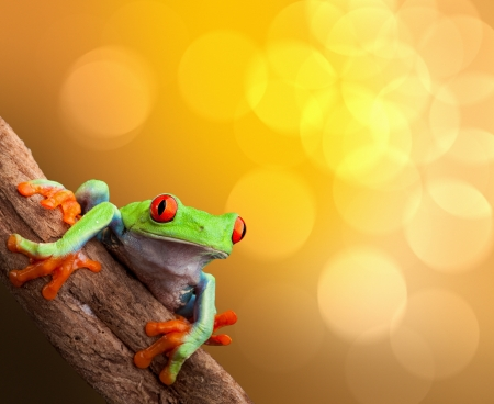 tropical frog: red eyed tree frog on vibrant background in tropical rainforest treefrog Agalychnis callydrias in jungle Costa Rica bright vivid colors