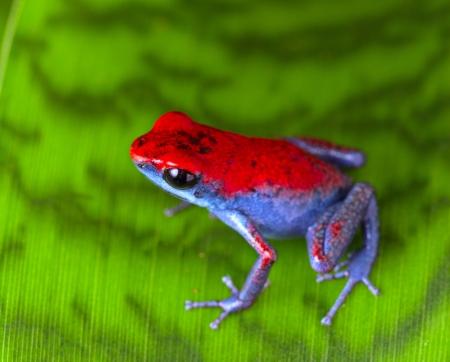 rana venenosa: ranas venenosas de fresa roja y azul Oophaga pumilio del Escudo Isla Bocas del Toro en Panam� animales selva tropical Foto de archivo