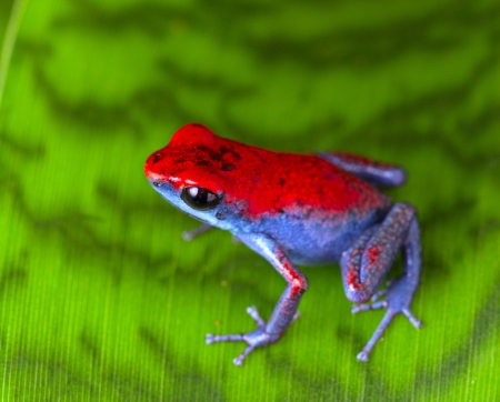 poison dart frog: strawberry poison dart frog red and blue Oophaga pumilio from the Escudo Island Bocas del Toro in Panama tropical rainforest animal