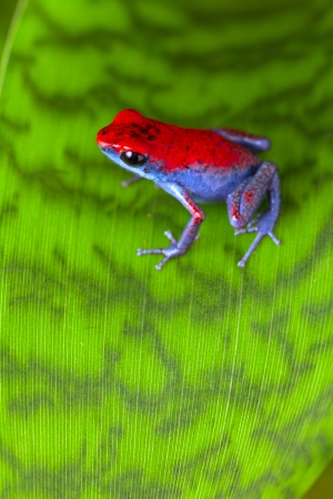 rainforest animal: strawberry poison dart frog red and blue Oophaga pumilio from the Escudo Island Bocas del Toro in Panama tropical rainforest animal