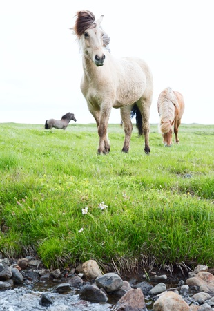 Wild Islandic horses beautiful animals in green pasture low point of view this horse breed only lives in Iceland photo