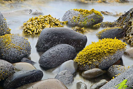 tratment: green algae or seaweed on boulders at rocky shore of wild coastline nature detail coast landscape background