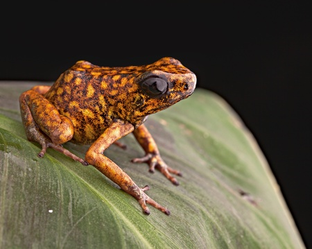 arrow poison: Poison arrow frog Peru tropical Amazon rain forest beautiful amphibian from the exotic jungle a poisonous animal with bright orange color Stock Photo