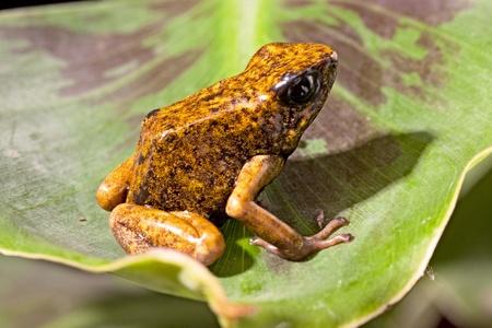 amazon rain forest: orange poison dart frog from the Amazon rain forest in tropical Ecuador exotic poisonous animal Oophaga sylvatica or Dendrobates sylvaticus Stock Photo