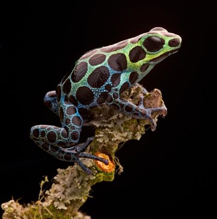 poison frog: Rana freccia da tropicale amazzonica in Per�. Bella piccolo animale con colori vivaci. Spesso tenuto come un animale da compagnia in un terrario foresta pluviale. Ranitomeya variabilis