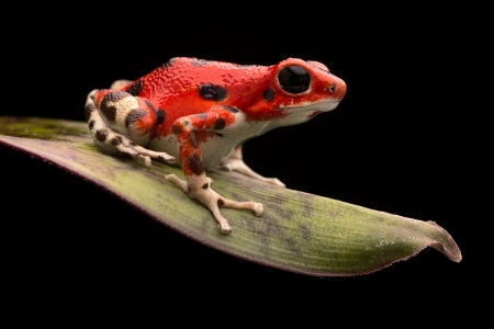 poison dart frogs: Red strawberry poison dart frog, Oophaga pumilio from the Bocas del Toro Archipel in Panama. Morph living in the rain forest at the red frog beach. Beautiful macro of a rainforest animal. Stock Photo