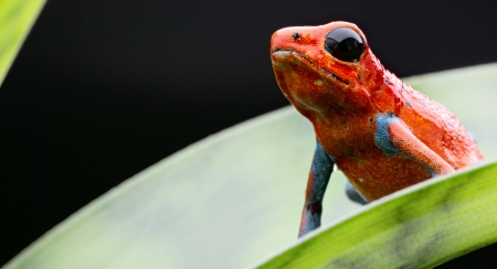 strawberry frog: Red and blue strawberry frog from the tropical rainforest of Panama and Costa Rica. Beautiful small poisonous animal, Dendrobates pumilio Valiente Stock Photo