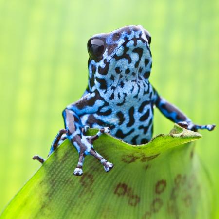 パナマの熱帯雨林から青いイチゴ毒矢カエル。マクロ カラフルなエキゾチックな熱帯雨林の両生類の肖像画。ヤドクガエル属プミリオ Colubre 有毒動