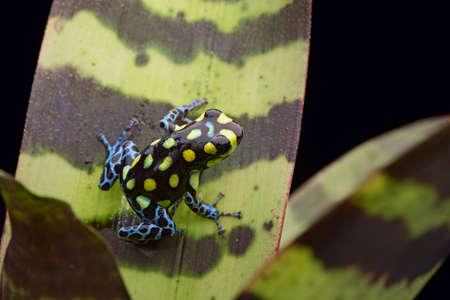 ranitomeya: tropical frog from the rainforest in Peru and Brazil, Ranitomeya vanzolinii