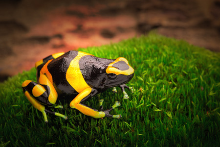 amazon forest: yellow banded poison dart frog dendrobates leucomelas a poisonous animal from the tropical Amazon rain forest of Venezuela Stock Photo