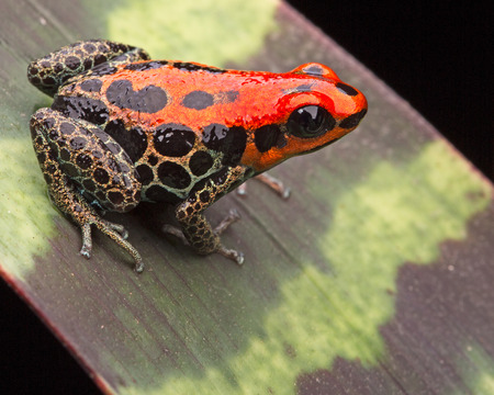 red reticulated poison dart frog, ranotimeya reticulatus poisonous animal form tropical Amazon rin forest peru photo