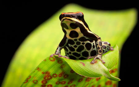 ranitomeya: tropical poison arrow frog Ranitomeya uakarii Amazon rainforest Peru, poisonous animal
