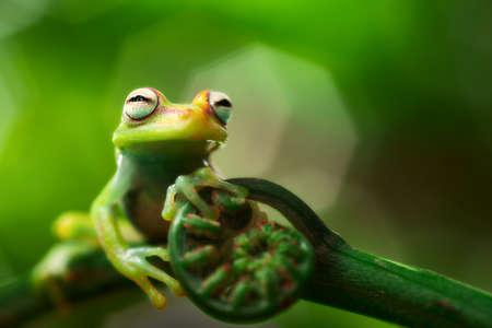 boomkikker Hypsiboas punctatus. Een kleine treefrog uit het Amazone regenwoud. Macro van een tropische amfibie. Stockfoto