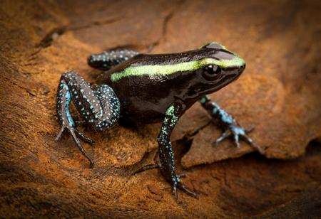 rana venenosa: rana venenosa tropical Phyllobates aurotaenia de la selva amaz�nica de Colombia. Una macro de un peque�o anfibio venenoso de la selva. Toxix y animal peligroso. Foto de archivo