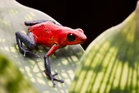 strawberry frog: strawberry poison arrow frog, red blue jeans morph from Costa Rica tropical rain forest