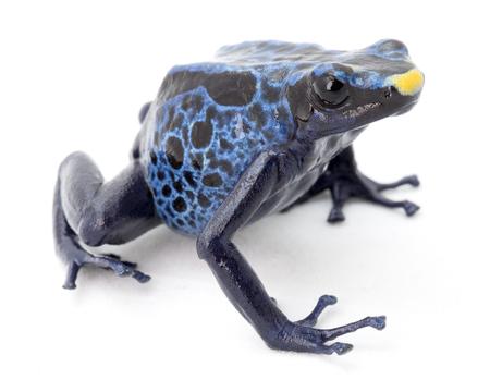 dendrobates: blue poison frog on white Dendrobates tinctorius a poisonous animal from the Amazon rainforest in Suriname. Macro of a small amphibian. Stock Photo