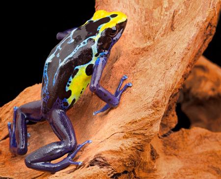 rana venenosa: rana venenosa, Dendrobates tinctorius de la selva amaz�nica, cerca de la frontera de Surinam y Brasil. macro beuatiful de ex�ticos anfibios Foto de archivo