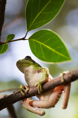treefrog: tropical tree frog Hypsiboas riojanus an exotic treefrog and beautiful amphibian of the Bolivian Andes