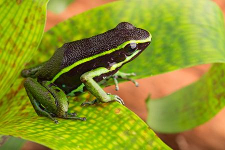 dart frog: striped poison dart frog Ameerega or epipedobates trivittatus from the Amazon rain forest of Brazil Peru Ecuador