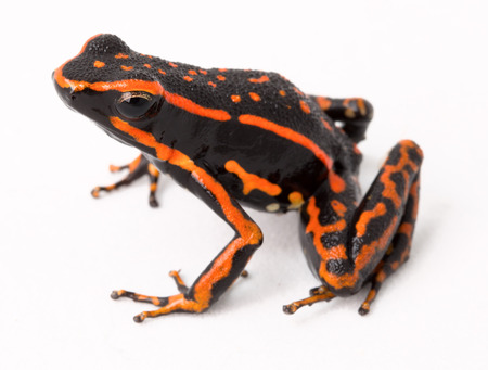 arrow poison: red striped poison arrow frog Amereega trivittatus on white