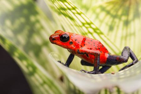 rana venenosa: fresa Rana de las flechas, azul jeans rojos se transforman desde Costa Rica selva tropical Foto de archivo