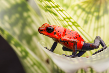 strawberry poison arrow frog, red blue jeans morph from Costa Rica tropical rain forest photo