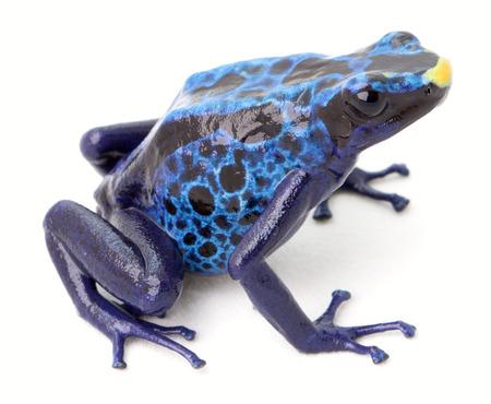 suriname: blauwe pijlgifkikker, dendrobates tinctorius uit het Amazone regenwoud van Suriname. Stockfoto