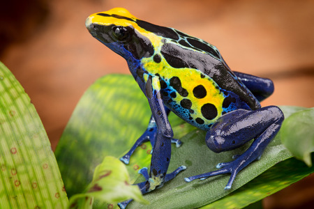 poison dart frogs: poison dart frog, Dendrobates tinctorius from the Amazon rain forest near the border of Suriname and Brazil. beuatiful macro of exotic amphibian