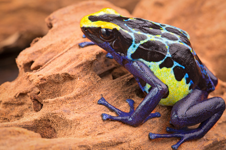 amazon forest: poison dart frog, Dendrobates tinctorius from the Amazon rain forest near the border of Suriname and Brazil. beuatiful macro of exotic amphibian