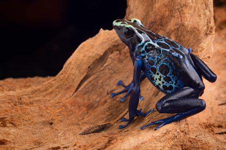 poison dart frog, Dendrobates tinctorius from the Amazon rain forest near the border of Suriname and Brazil. beuatiful macro of exotic amphibian