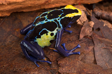 yellow and black poison dart frog: poison dart frog, Dendrobates tinctorius from the Amazon rain forest near the border of Suriname and Brazil. beuatiful macro of exotic amphibian