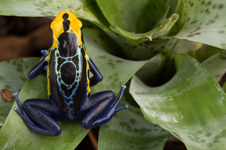 poison dart frog: poison dart frog, Dendrobates tinctorius from the Amazon rain forest near the border of Suriname and Brazil. beuatiful macro of exotic amphibian