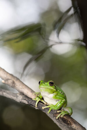 treefrog: treefrog hypsiboas riojanus exotic and tropical tree frog from the Andes in Bolivia