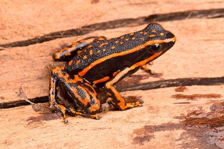 rana venenosa: Rana de las flechas Ameerega trivittatus un anfibio tropical fromthe selva amaz�nica